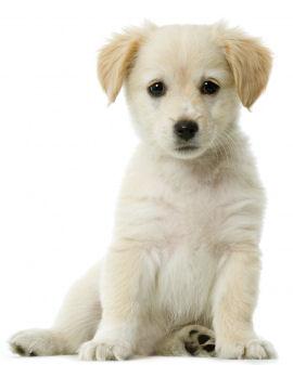 Valkoturkkinen koiranpentu istumassa pystyasennossa.